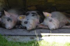 Rauris-Schweine