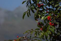Rauris-Vogelbeere