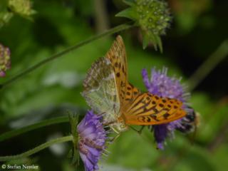 Schmetterling bei der Arbeit